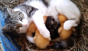 Cat_nursing_ducklings