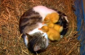 the-cat-and-the-ducklings-image10