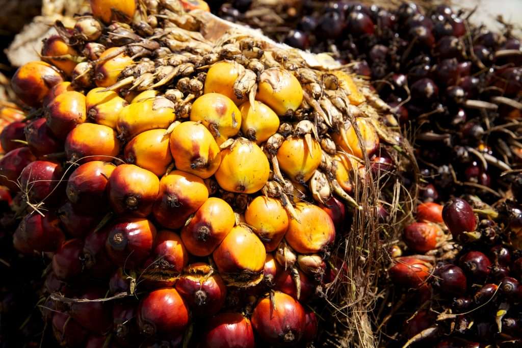 Oil palm fruits ripening.